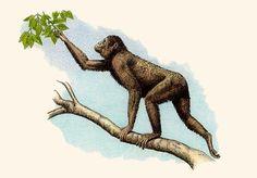 PROCONSUL Los proconsul son un género de primates homínidos. Se dieron entre hace 22 a 15 millones de años. Era un trepador que se movilizaba entre las ramas de los árboles en posición cuadrúpeda, aunque  carecían de la habilidad de suspenderse. Sus cráneos eran más macizos que en los grandes simios actuales y sus brazos eran largos en proporción al resto del cuerpo.