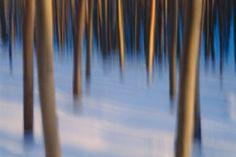 Last Light, Winter Aspens