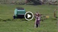 Guarda il video «Il video più tenero che potrete mai vedere – Bimba e piccolo puledro giocano insieme» su maidireVideo.tv - Ogni giorno i video più incredibili del web.