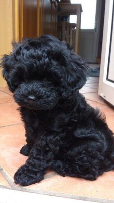 Black Shih Poo Puppies I want! Cute Little Puppies, Cute Dogs And Puppies, Cute Little Animals, Baby Dogs, Cute Funny Animals, Doggies, Funniest Animals, Shih Poo Puppies, Teacup Poodle Puppies