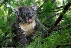 Wake up on the wrong side of the bed? Dozy koala looks far from thrilled after being woken up with a soaking by garden sprinkler