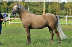Welsh Pony (section B) - mare Jedidjan Susanna