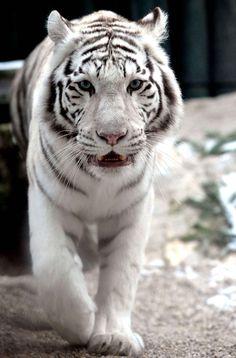 Un tigre blanc du zoo de Liberec en République tchèque.