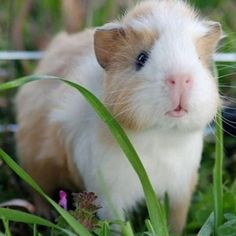 I love guinea pigs and I love this guy!!! #guineapig #photooftheday #cute #petstagram #supercute #love #followback #pet