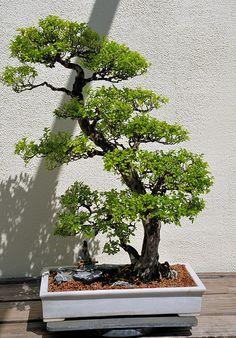 National Bonsai and Penjing Museum at National Arboretum Washington, DC | Flickr: partage de photos!