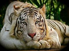 Tiger with Yellow Golden tones