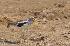 White-headed Lapwing (Vanellus albiceps) a.k.a. White-crowned Lapwing... Selous GR, Tanzania | by cirdantravels