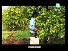Desde la tierra 24-01-11 (2 de 4) Plantación de cítricos - YouTube