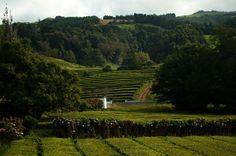 #Azores #SaoMiguel  #Europe #Tea #plant #green #Cha #Gorrena