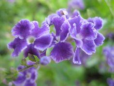 Golden Dewdrop Flowers