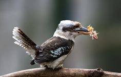 Laughing Kookaburra (Dacelo novaeguineae) by Jean-Claude Sch. on 500px.