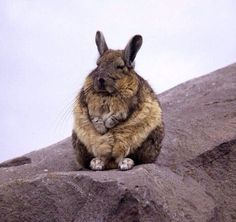 A cute Mountain Vizcacha