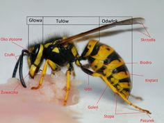 Natural History, Biology, Kids Learning, Insects, Bee, Education, Animals, Zoology, Drawing S