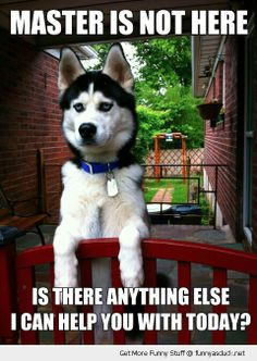 Master is not here... #siberianhusky #dogs