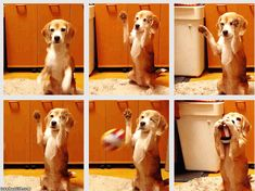 Dog plays catch - it's actually more cool than funny, but hey ; I HAD to pin it Somewhere!