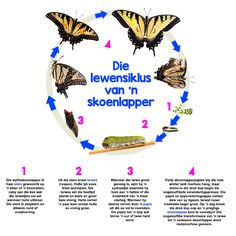 Afrikaanse taakhulp: Lewensiklus van 'n skoenlapper. Life Cycle Craft, Butterfly Life Cycle, Life Cycles, Primary School, Kids Education, School Projects, Preschool Activities, Homeschool, Classroom