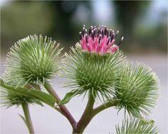 <p>A bardana é uma planta que aparece espontâneamente em Portugal e o seu uso como planta medicinal ganha cada vez mais relevo. Também conhecida como planta dos tinhosos, é utilizada para combater a celulite, queda de cabelo, como depurativo do sangue, contra dores articulares, na inflamação da vesícula, em hemorroidas, …</p>