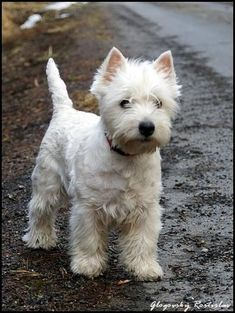 Westies - the whole package - smart, friendly, & soooo cute!