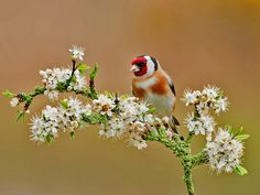 """500px / Photo """"Goldfinch And Blossom"""" by Trevor Birtwistle"""