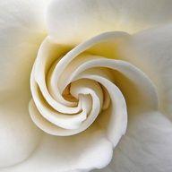 Gardenia - Heavenly scent in the garden