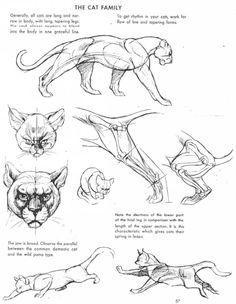 cat anatomy cat drawing art cats draw lion tiger f - cat Animal Sketches, Animal Drawings, Drawing Sketches, Drawing Art, Drawing Animals, Lion Anatomy, Anatomy Drawing, Animal Anatomy, Anatomy Art