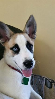 Meet Chaundra, a Petfinder adoptable Husky Dog | Clarkston, MI | Hi, My Name is Chaundra, My foster mom says I am Beautiful, Sweet, Energetic and one of a kind. I'm...