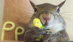 """Apparently this squirrel, named Jill, does NOT live in a tree. But she's worth checking out! """"Photogenic Rescue Squirrel Is A Huge Fan Of Her New Life"""" Animals And Pets, Baby Animals, Funny Animals, Cute Animals, Wild Animals, Unusual Animals, Animals Beautiful, Unlikely Animal Friends, Tier Fotos"""