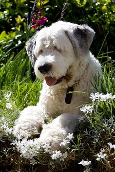 English Sheepdog I need one of these I've wanted one from being a child