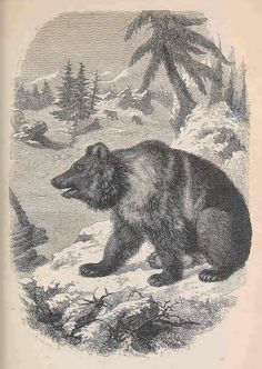 """European bear.""""Illustrated natural history of the animal kingdom.1859.Internet archive."""