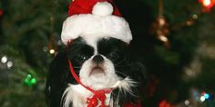 These festive pets stealing the show at Christmas will make you smile  #pets #holiday #festive
