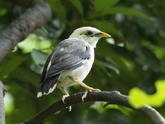 Black-winged Myna / White-breasted Starling _ JBP | by mahi mahi 163