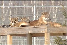 The Wildcat Sanctuary Nears Capacity. Part one of a two-part feature story from Fox 21 News in Duluth, MN Animal Welfare Board, Animal Articles, Feel Good Stories, Mountain Lion, Cat Boarding, Lynx, Cat Gif, Big Cats