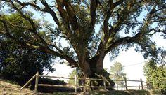Comarca de árboles singulares http://www.rural64.com/st/turismorural/Comarca-de-arboles-singulares-4764