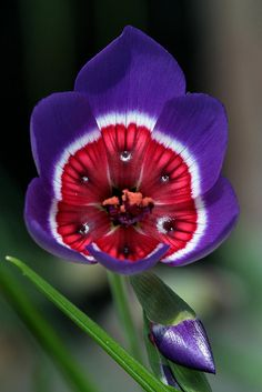 ✿ flowers ✿ purple red Geissorhiza-radians by Jeffs bulbesetpots