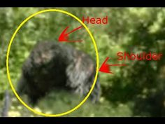 Massive Bigfoot Creature Captured On Northern California Trail Cam - looks as if it might be looking downward, but has that same thinned out hair look, patchy sort  of, maybe it sheds in summer or has less in hotter climates or isnt bothered by weather or mange! Just so different. Real or unreal - the mystery is there!!!