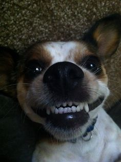 Crazy Jack Russell...hahaha they have an awesome personality!!!