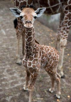 One week old giraffe.