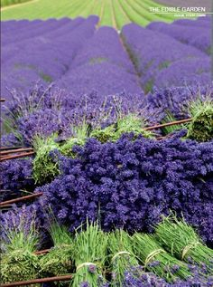 lavender - in the field and tied into bundles (The Edible Garden)