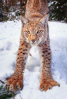 vertical cat pictures | ... favorite nature wildlife feline Big Cat wild Lynx Mammal vertical