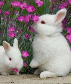 What could be cuter than fluffy white bunnies sniffing pretty #pink flowers?!  Soft Paws are the humane alternative to declawing your cat!  #softpaws www.softpaws.com
