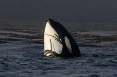 LOVE THIS <3 Ocean Creatures, Weird Creatures, Dolphin Family, Orcas, Killer Whales, Ocean Life, Amazing Photos, My Animal, Sharks