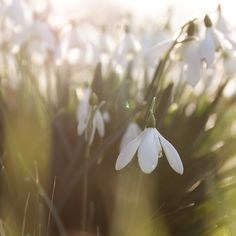 snowdrops... Love the way these little flowers rear their dainty, resilient heads in winter!