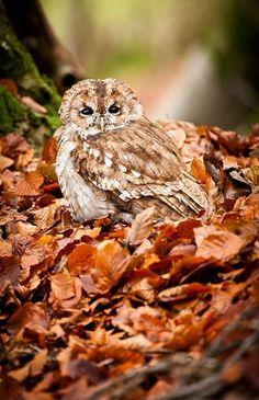 Owl Bird, Pet Birds, Strix Aluco, Tawny Owl, Bird People, Owl Always Love You, Beautiful Owl, Tier Fotos, Animal Totems