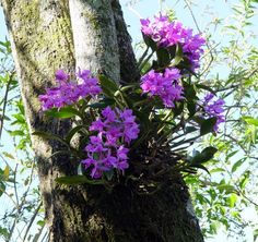 The National Flower - The Purple Guaria