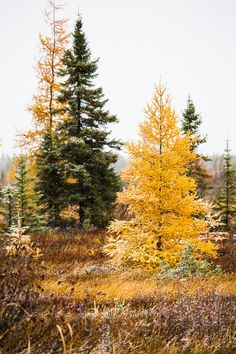 The Autumn yellow of the Tamarack stands out among the evergreen pines in the northern forests of Ontario, Canada