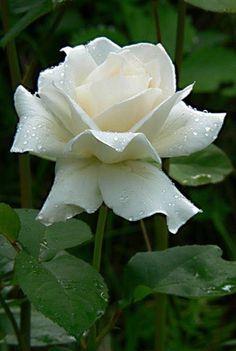 Marvelous white Rose!