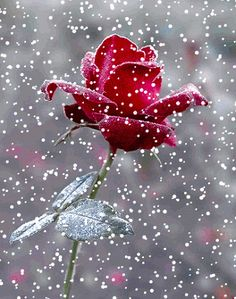 ❤️Rose in the snow GIF
