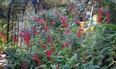 Šalvěj - aromatická kráska vaší zahrady