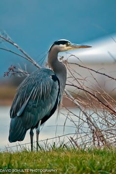 Saw a Great Blue Heron on Great blue herons are common near open water and wetlands over most of North and Central America, as well as the Caribbean and Galápagos Islands. Pretty Birds, Love Birds, Beautiful Birds, Exotic Birds, Colorful Birds, Photo D Art, Kinds Of Birds, Galapagos Islands, Tier Fotos
