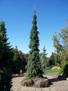 Weeping White Spruce   (Height:40 ft, Spread:8 ft) - What I really like about this plant is that the trunk remains straight all while the branches weep. Most weeping evergreens don't exhibit that (Hilldale Nursery).